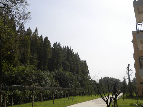 生态水杉林